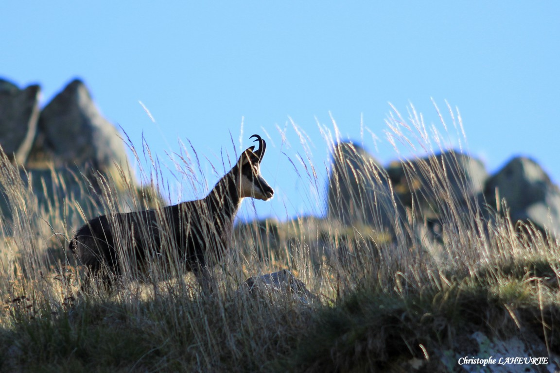 chamois15oct2011rsolutiondelcran.jpg
