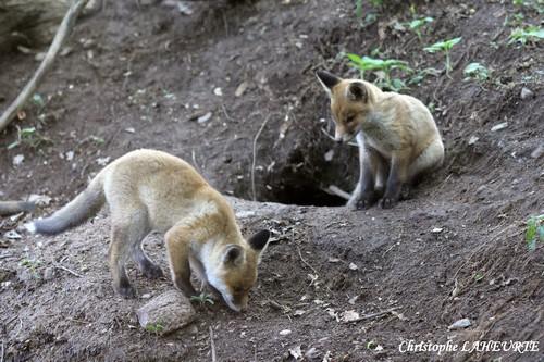 Deux renardeaux à l'entrée de leur terrier. 2-renardeaux-7-mai