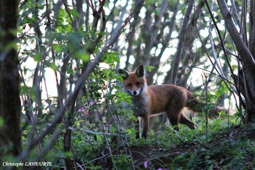 Renard à quelques mètres de son terrier. Renard-03-mai-2012