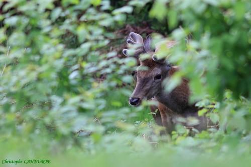 Jeune cerf en velours. cerf-bosse-du-chameau-9-mai-2012