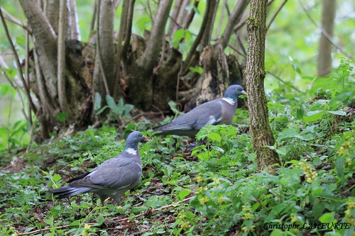 Pigeons ramiers. pigeon-ramier