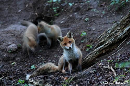 Renarde devant son terrier avec ses renardeaux. renarde-et-ses-renardeaux-5-mai-20121