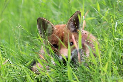 Renardeau couché dans les herbes. renardeau-9-juin-2012