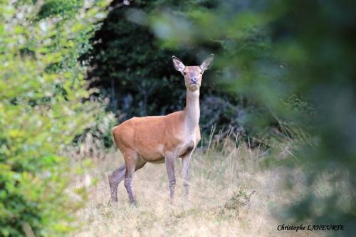 Une bichette en lisière de forêt. bichette-23-septembre-2012