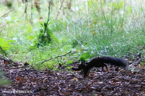 Un écureuil transportant un cône d'épicéa ecureuil-30-sept-2012