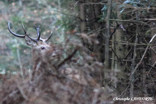 Un jeune cerf surpris dans une clairière. cerf-12-novembre-2011