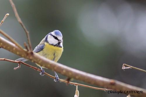 Une mésange bleue. mesange-19-decembre-2012