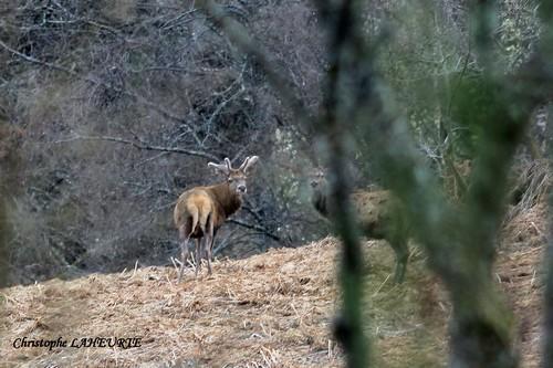 Cerfs en velours deux-cerfs-en-velours-16-avril-2013
