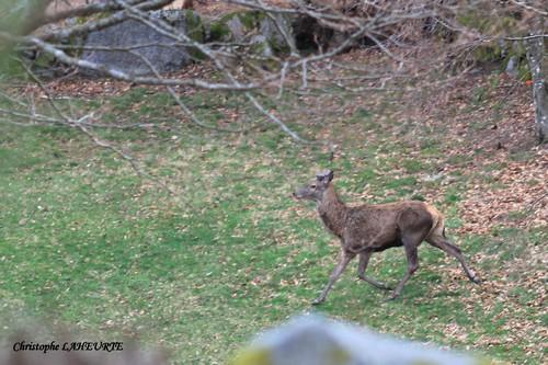 Jeune cerf en velours traversant la prairie. jeune-cerf-en-velours-16-avril-2013
