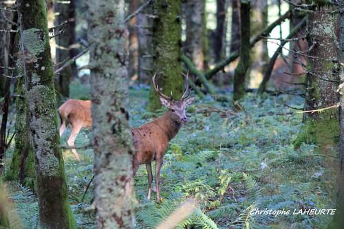 jeune cerf et biche 24 sept 2015