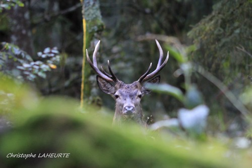 portrait jeune cerf 24 set 2015