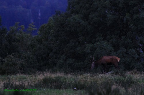 cerf 8 cors à la nuit tombante