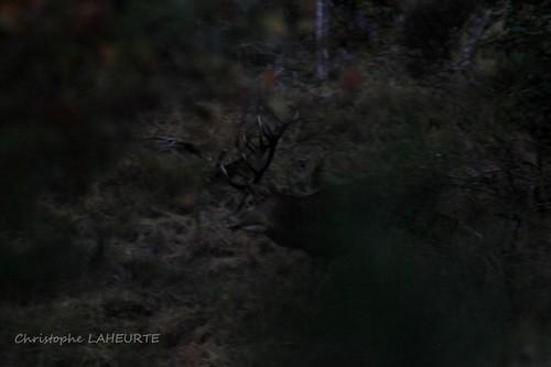 cerf à la nuit tombante